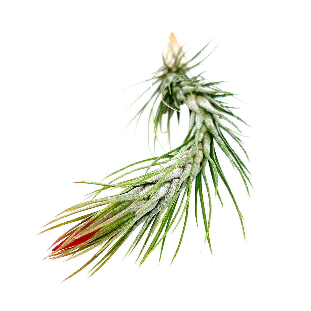 Tillandsia Funckiana air plant for sale, How to care for Tillandsia Funckiana air plant, air plant gift decor ideas, Growing Tillandsia Funckiana air plant, rare air plant