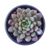 Graptoveria Bashful Succulent, Graptoveria Jujube Plant, Graptoveria Pinkle Ruby, Graptoveria Pink Ruby, Pink Rosettes Succulent Plant, Types of Graptoveria Succulents, Shop Succulents in California, Buy Succulents Online, Succulents, Cactus