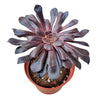 Black Rose Aeonium with unique color, succulents shop in California, succulent care tips, succulent care, succulents store in CA, succulents garden, monthly succulents, cactus, Rare succulents, Black Rose Aeonium with unique color in California, How to grow Black Rose Aeonium with unique color