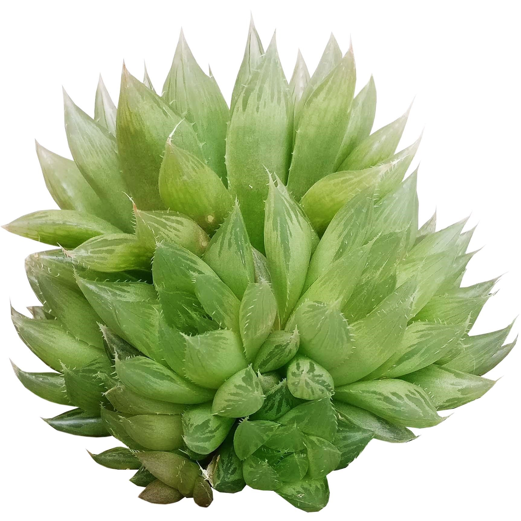 Haworthia Cooperi for sale, succulents shop in California, how to grow succulents, monthly succulents, indoor succulents, succulent care tips, succulent care, succulent subscription, cactus, Haworthia Cooperi in California, How to grow Haworthia Cooperi