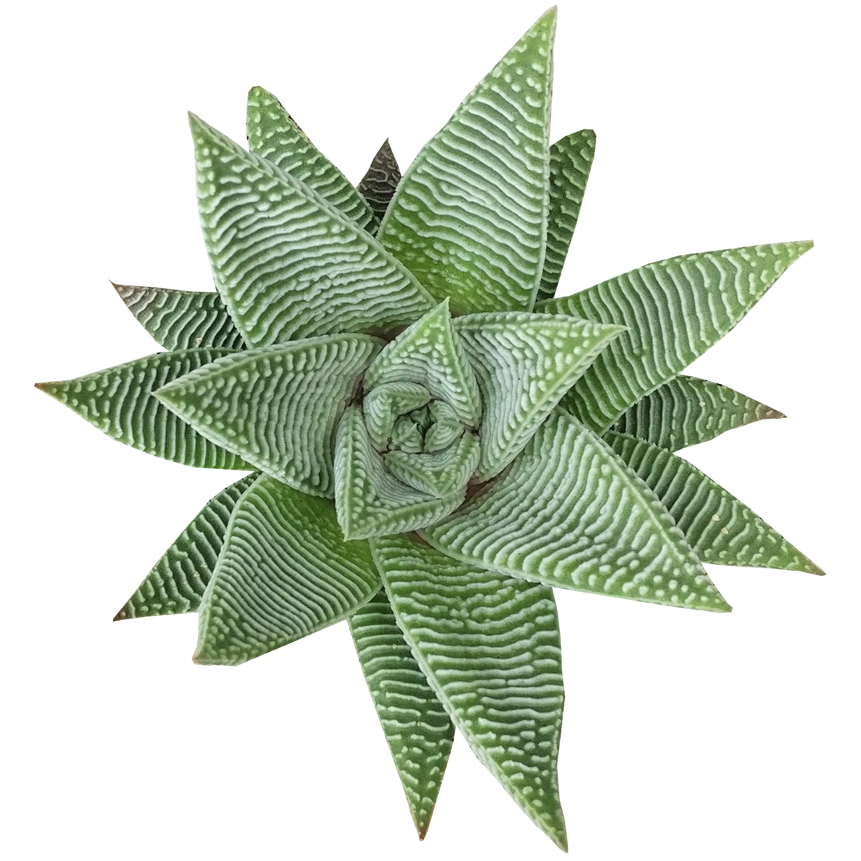 Haworthia Limifolia for sale, Rare succulents, succulents shop in California, Succulents, succulent care guide, Succulents shop near me, cactus, succulents garden, succulents store in CA, Haworthia Limifolia in California, How to grow Haworthia Limifolia