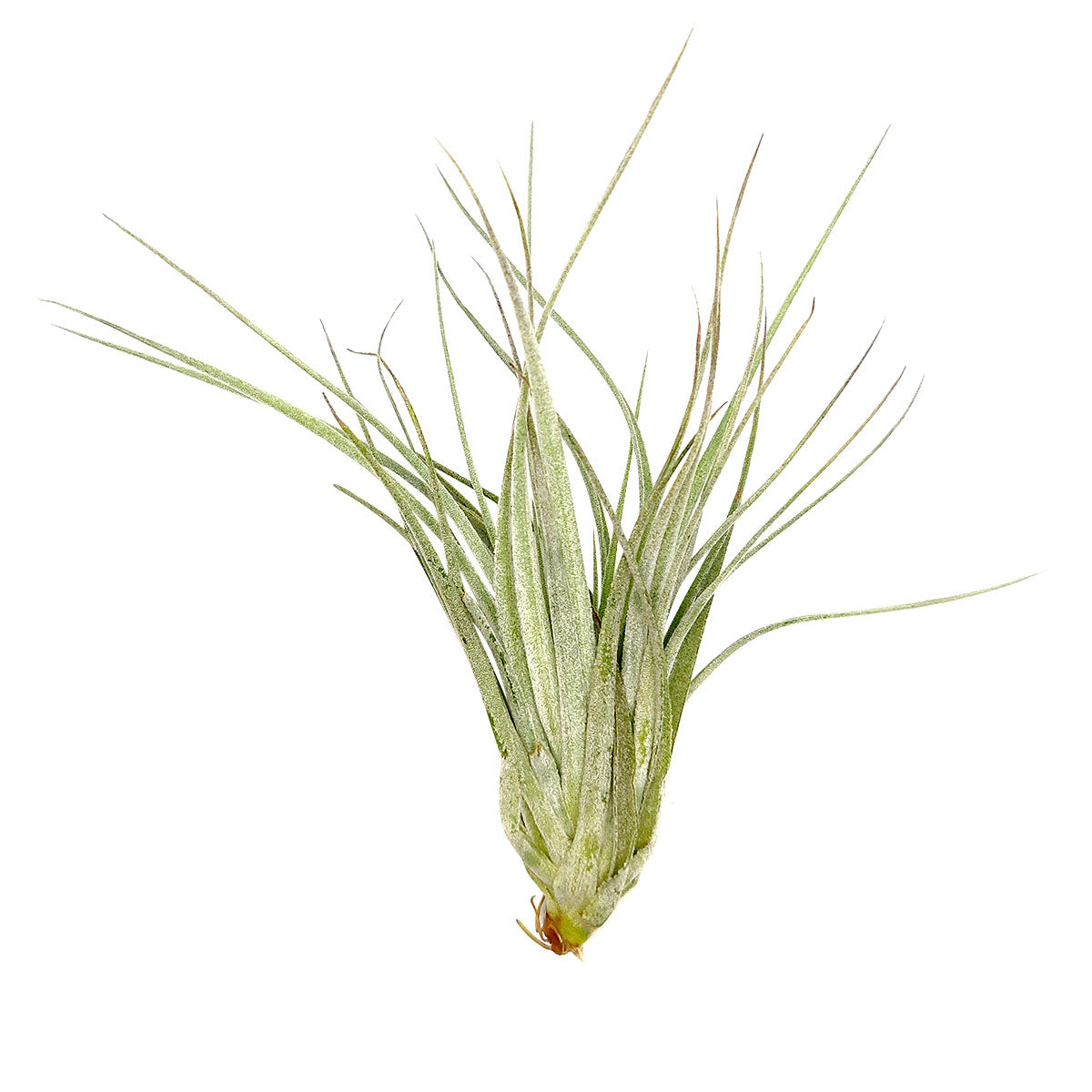 Tillandsia Houston Cotton Candy air plant for sale, unique gift decor ideas, air plant subscription delivery monthly, Tillandsia Houston Cotton Candy with air plant care guide