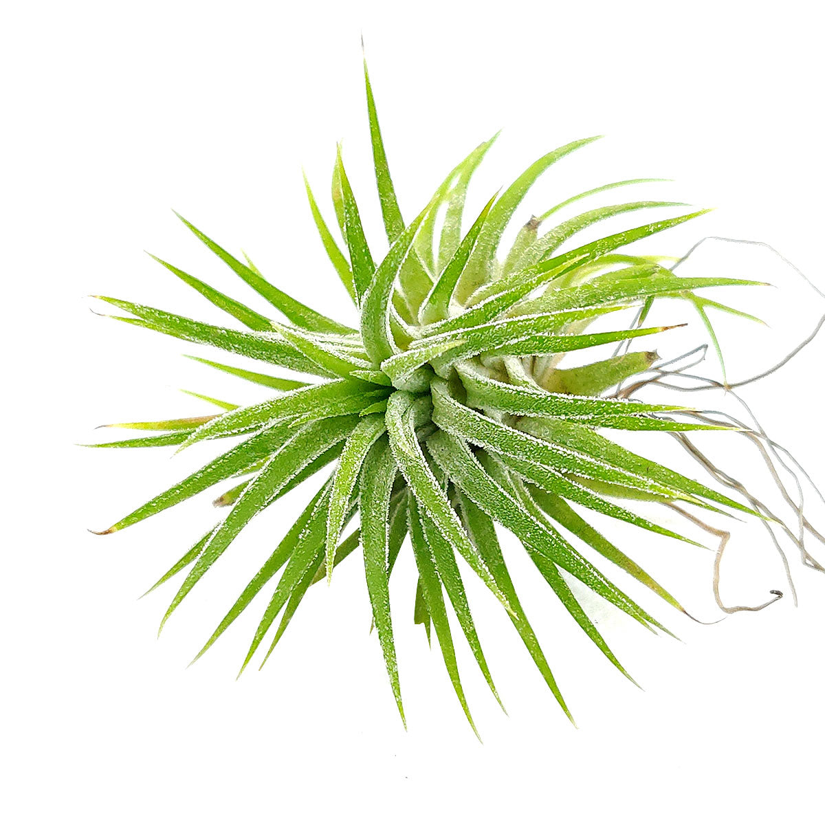 Tillandsia Ionantha Huamelula air plant for sale, unique gift decor ideas, air plant subscription delivery monthly, Tillandsia Ionantha Huamelula with air plant care guide