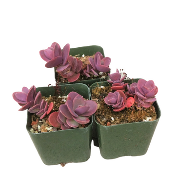 Sedum Sunsparkler Cherry Tart, Succulents shop near me, succulent care tips, succulents shop in California, indoor succulents, succulent plant, succulents store in CA, succulent care guide, Succulents, Cherry Tart Sedum in California, How to grow Cherry Tart Sedum
