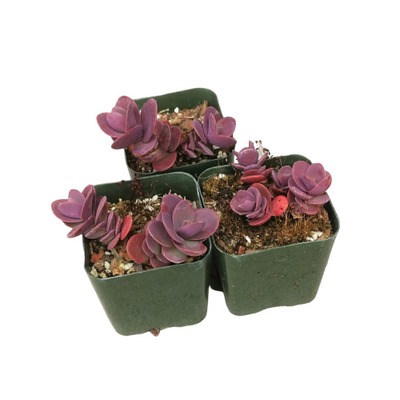 Sedum Cherry Tart Stonecrop, indoor succulents, Rare succulents, succulent plant, succulents shop in California, succulents store in CA, succulent subscription, succulent care guide, monthly succulents, Sedum Cherry Tart Stonecrop in California, How to grow Sedum Cherry Tart Stonecrop