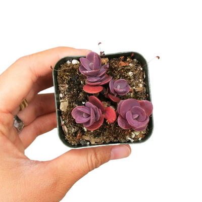 Purple Cherry Tart Succulent, indoor succulents, Rare succulents, succulent plant, succulents shop in California, succulents store in CA, succulent subscription, succulent care guide, monthly succulents, Sedum Cherry Tart Stonecrop in California, How to grow Sedum Cherry Tart Stonecrop