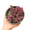 Sedum garden gift, sedum cherry tart, succulents shop in California, succulent care, succulent plant, succulent care guide, succulent care tips, how to grow succulents, Rare succulents, Succulents, sedum cherry tart in California, How to grow sedum cherry tart