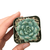 Succulent blue elf, succulent subscription, how to grow succulents, Rare succulents, indoor succulents, succulent care tips, Succulents shop near me, succulents store in CA, succulents garden, Succulent blue elf in California, How to grow Succulent blue elf, Echeveria for thanksgiving, How to care echeveria succulents for thanksgiving