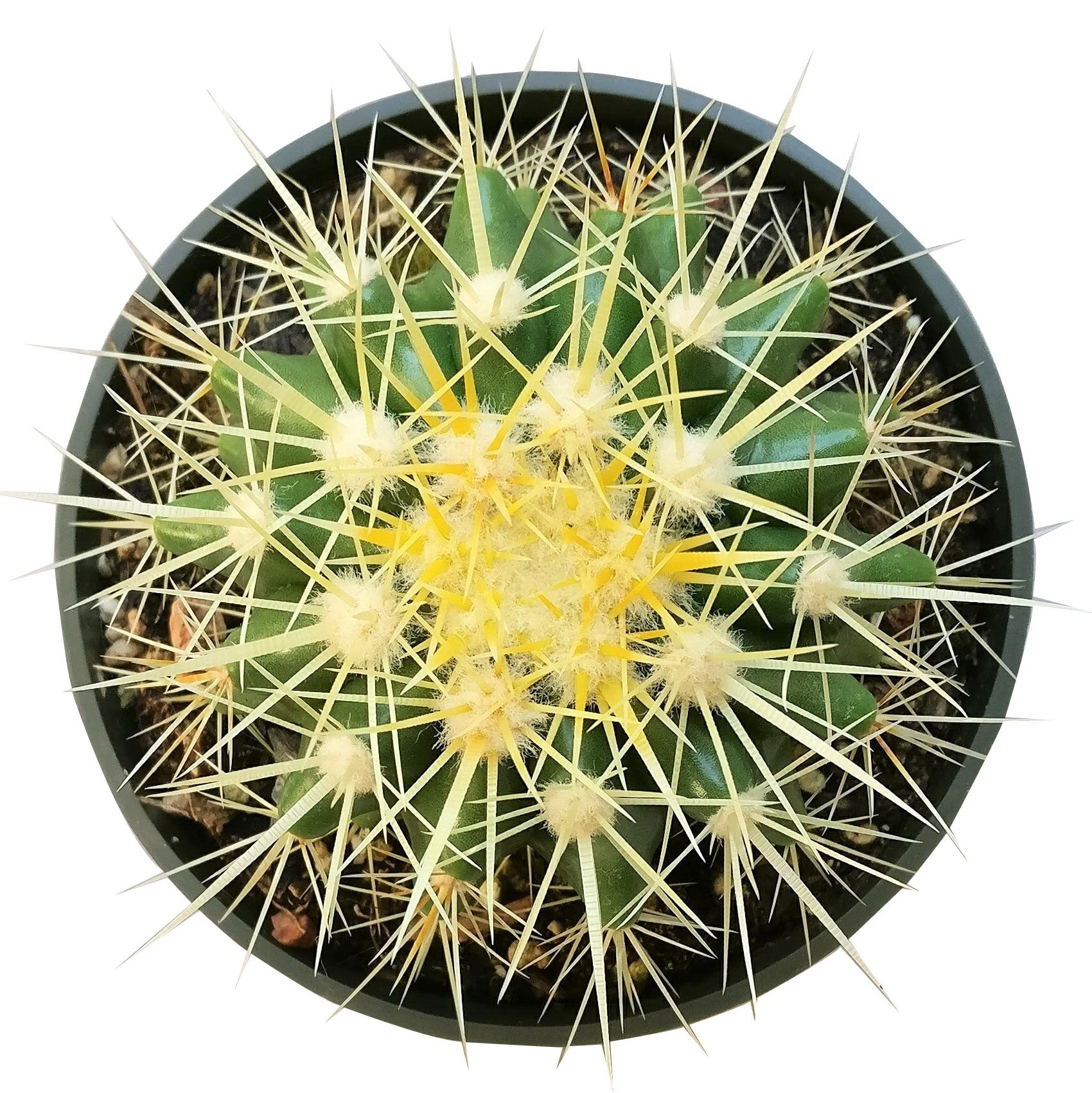 Golden barrel cactus, how to grow Echinocactus grusonii, indoor succulents, succulents garden, succulent subscription, monthly succulents, succulent care guide, succulent care tips, outdoor succulents, Succulents shop near me, how to grow succulents, succulents shop in California
