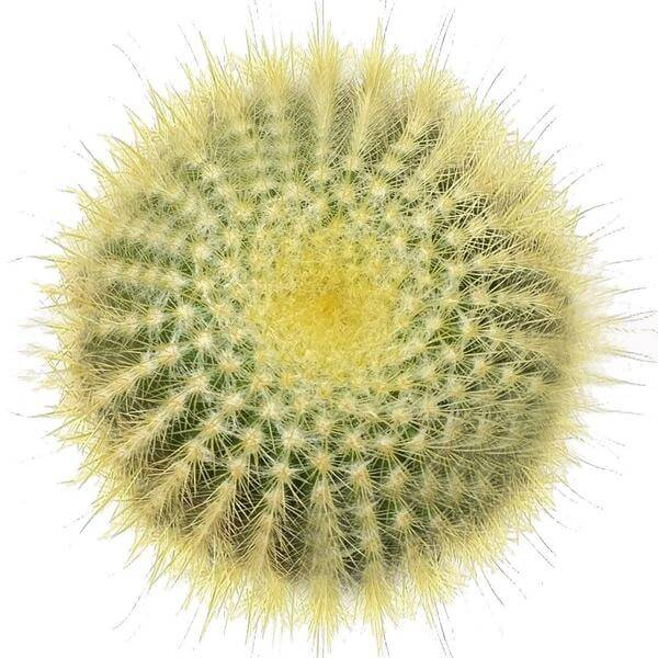 Golden ball cactus for sale, Lemon Ball cactus in California, Succulents, cactus, succulent plant, succulent care, indoor succulents, succulents garden, succulent subscription, monthly succulents, succulent care guide, Succulents shop near me, how to grow succulents, succulents shop in California, succulents store in CA