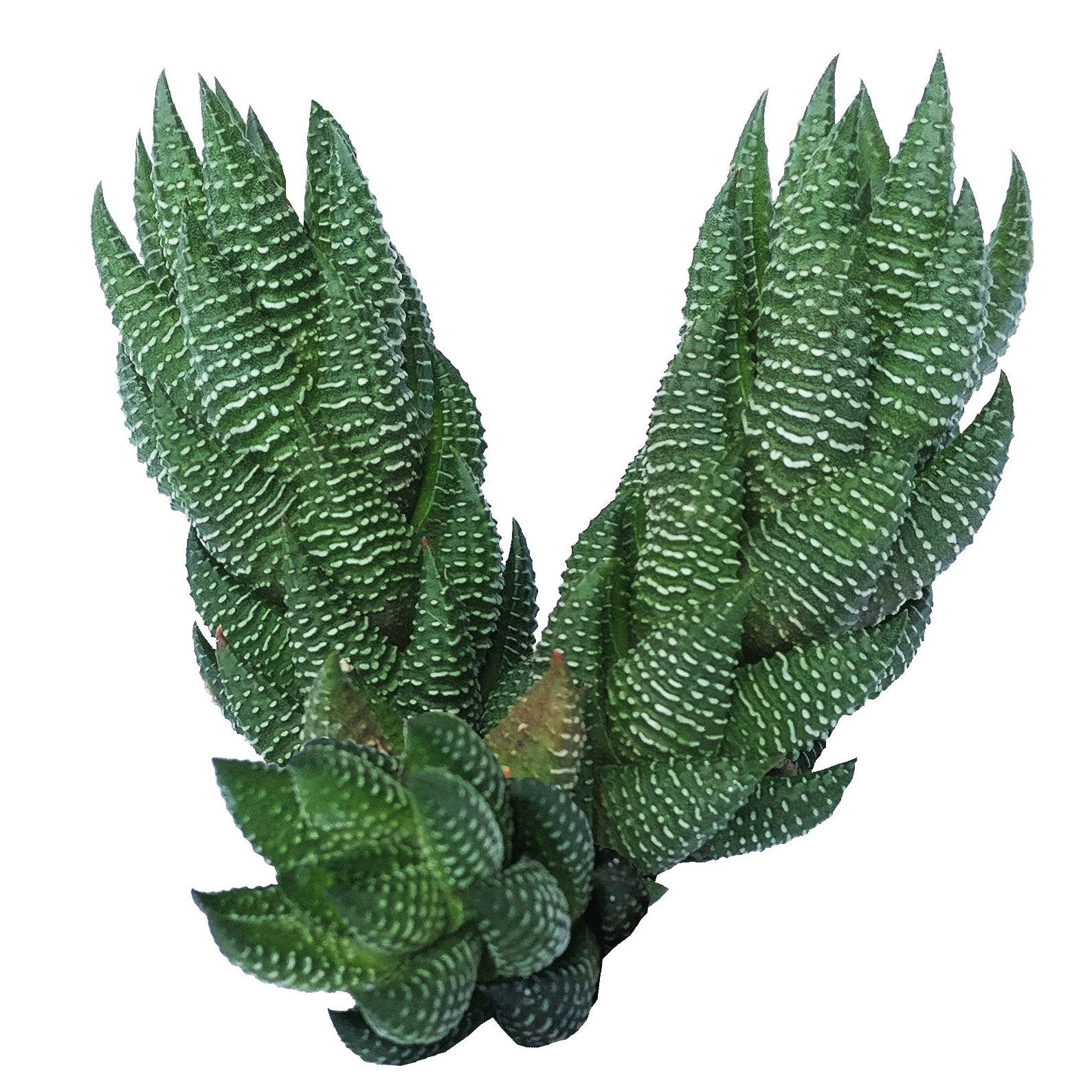 Haworthia african pearl, succulents shop in California, Succulents, Succulents shop near me, cactus, how to grow succulents, succulents store in CA, succulent plant, succulents garden, Haworthia african pearl in California, How to grow Haworthia african pearl