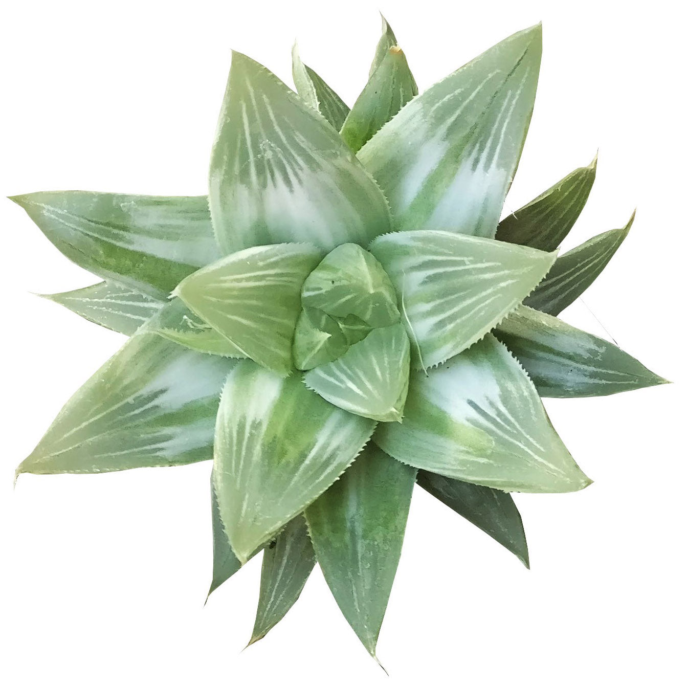 Silver haworthia for sale, succulent care tips, succulents shop in California, succulents garden, succulent care guide, Succulents shop near me, succulent care, how to grow succulents, Succulents, Silver haworthia in California, How to grow Silver haworthia