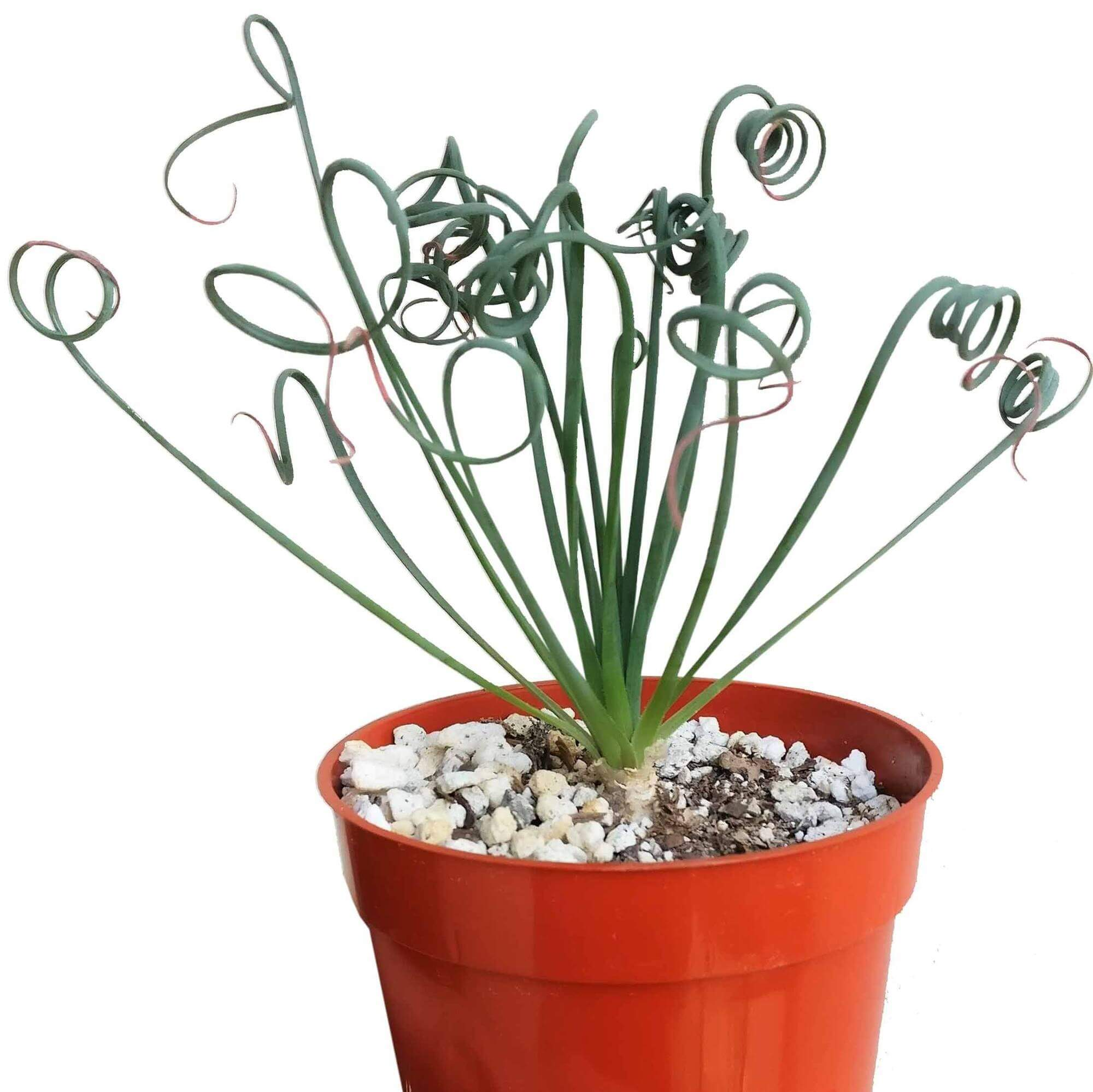 frizzle sizzle, albuca spiralis, corkscrew albuca, spiral albuca, helicopter plant, curly albuca, slime lily, curly green succulent, rare plant, curly succulent, garden plants, cool garden ideas, succulent box