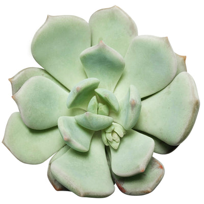 Graptoveria Moonglow for Sale