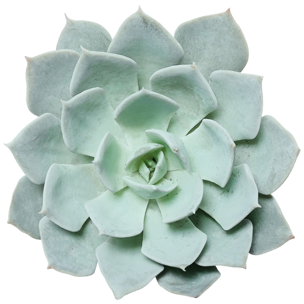Echeveria Blue Fairy, succulent plant, monthly succulents, how to grow succulents, succulent care, cactus, succulent care tips, Succulents shop near me, succulents store in CA, Echeveria Blue Fairy in California, How to grow Echeveria Blue Fairy