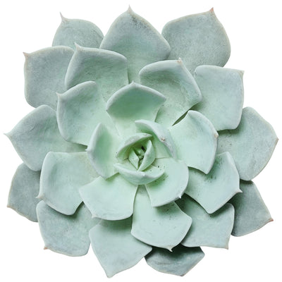 Echeveria Blue Fairy