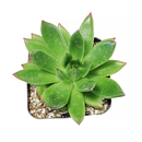Agavoides Christmas for sale, succulent care, succulent subscription, succulent care guide, succulents garden, succulents store in CA, how to grow succulents, Succulents shop near me, succulent care tips, Agavoides Christmas in California, How to grow Agavoides Christmas, How to care echeveria succulents for thanksgiving, Easter echeveria gift, Echeveria gift for thanksgiving