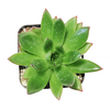 Echeveria Christmas plant, indoor succulents, Rare succulents, how to grow succulents, succulent care, succulents shop in California, succulents store in CA, succulents garden, Succulents shop near me, Echeveria Christmas plant in California, How to grow Echeveria Christmas plant