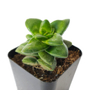 crassula springtime, springtime crassula, succulent care, Rare succulents, cactus, succulent care guide, how to grow succulents, Succulents shop near me, succulents shop in California, succulents store in CA, crassula springtime in California, How to grow crassula springtime