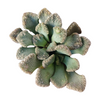 Titanopsis calcarea Jewel Plant, succulents store in CA, monthly succulents, succulent care guide, indoor succulents, succulents garden, Rare succulents, succulent plant, Succulents, Titanopsis calcarea Jewel Plant in California, How to grow Titanopsis calcarea Jewel Plant