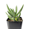 crassula mesembryanthemoides for sale, succulent care tips, how to grow succulents, succulents store in CA, monthly succulents, succulent plant, succulent subscription, Succulents shop near me, cactus, crassula mesembryanthemoides in California, How to grow crassula mesembryanthemoides