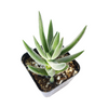 Crassula Mesembryanthemoides Tenelli fuzzy, grey-green leaves for sale, How to care for Crassula Mesembryanthemoides Tenelli, How to grow Crassula Mesembryanthemoides Tenelli indoor, succulents for sale, succulent gift box, succulent decor ideas