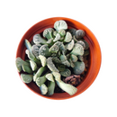 Concrete Leaf for Sale, monthly succulents, indoor succulents, succulents shop in California, cactus, succulent care tips, Succulents shop near me, Succulents, succulent plant, Carpet Leaf Succulent in California, How to grow Carpet Leaf Succulent