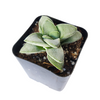 Crassula Morgan, succulents store in CA, succulent care, Succulents shop near me, succulent subscription, indoor succulents, succulent plant, succulents shop in California, Rare succulents, Crassula Morgan in California, How to grow Crassula Morgan