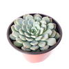 Rose shaped succulent, succulent care, cactus, succulents shop in California, succulents garden, succulent subscription, monthly succulents, how to grow succulents, succulent plant, Rose shaped succulent in California, How to grow Rose shaped succulent