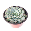How to care for echeveria minima blue rosette Succulent, How to make your succulent pink, How to change succulent color, How to make echeveria minima blue rosette Succulent turn pink, Succulent turning pink, How to make succulents change color, How to grow colorful succulents