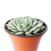 Succulents for thanksgiving, Thanksgiving succulents gift, Easter succulents idea, rose shaped echeveria, succulent care guide, succulent plant, succulent care tips, Succulents, succulent care, how to grow succulents, indoor succulents, succulents store in CA, rose shaped echeveria in California, How to grow rose shaped echeveria