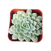 Succulent Arrangement, how to grow succulents, Succulents, succulent care tips, succulents garden, succulent plant, succulent care, monthly succulents, Succulents shop near me, Minima echeveria in California, How to grow Minima echeveria, Succulents for thanksgiving, Thanksgiving succulents gift, Easter succulents idea