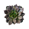 echeveria black prince for sale, succulent subscription boxblack knight succulent, succulent plant, Succulents, succulents garden, succulent care guide, monthly succulents, how to grow succulents, succulent care, Rare succulents, black knight succulent in California, How to grow black knight succulent, Echeveria gift for thanksgiving, Easter eggs echeveria