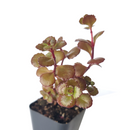 Sedum Dragon's Blood for sale, succulent care guide, monthly succulents, Succulents shop near me, how to grow succulents, Rare succulents, succulents shop in California, succulent subscription, Succulents, Dragon's blood sedum in California, How to grow Dragon's blood sedum