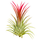 Air Plant Gift for sale, Tillandsia Ionantha Fuego for sale, Tillandsia Ionantha Rubra for sale, How to plant Tillandsia Ionantha Rubra, Tillandsia Ionantha Rubra air plant care guide, Air plants Gift Ideas for any occasion, Air plants subscription box delivered monthly