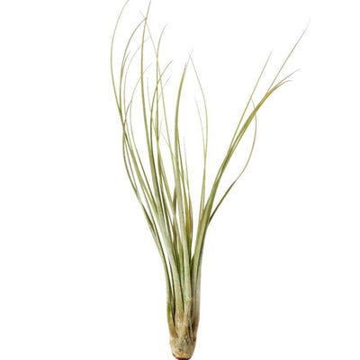 Tillandsia Juncea air plant for sale, How to plant Tillandsia Juncea air plant, How to care for Tillandsia Juncea air plant, Air plants subscription box monthly, Air plants gift ideas, live air plants for sale