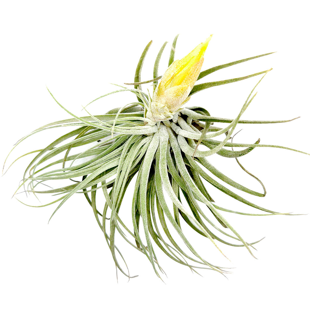 Tillandsia Matudae air plant for sale, unique gift decor ideas, air plant subscription delivery monthly, Tillandsia Matudae with air plant care guide, rare air plant