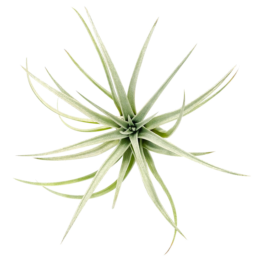 Tillandsia Mima Chiletensis air plant for sale, How to care for Mima Chiletensis air plant, How to grow Mima Chiletensis air plant indoor, unique live airplants for gift ideas, Airplant decoration ideas