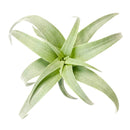 Tillandsia Nana air plant for sale, How to grow Tillandsia Nana air plant indoor, How to care for Tillandsia Nana air plants, air plants subscription box delivered monthly, air plants gift ideas, rare air plants for sale