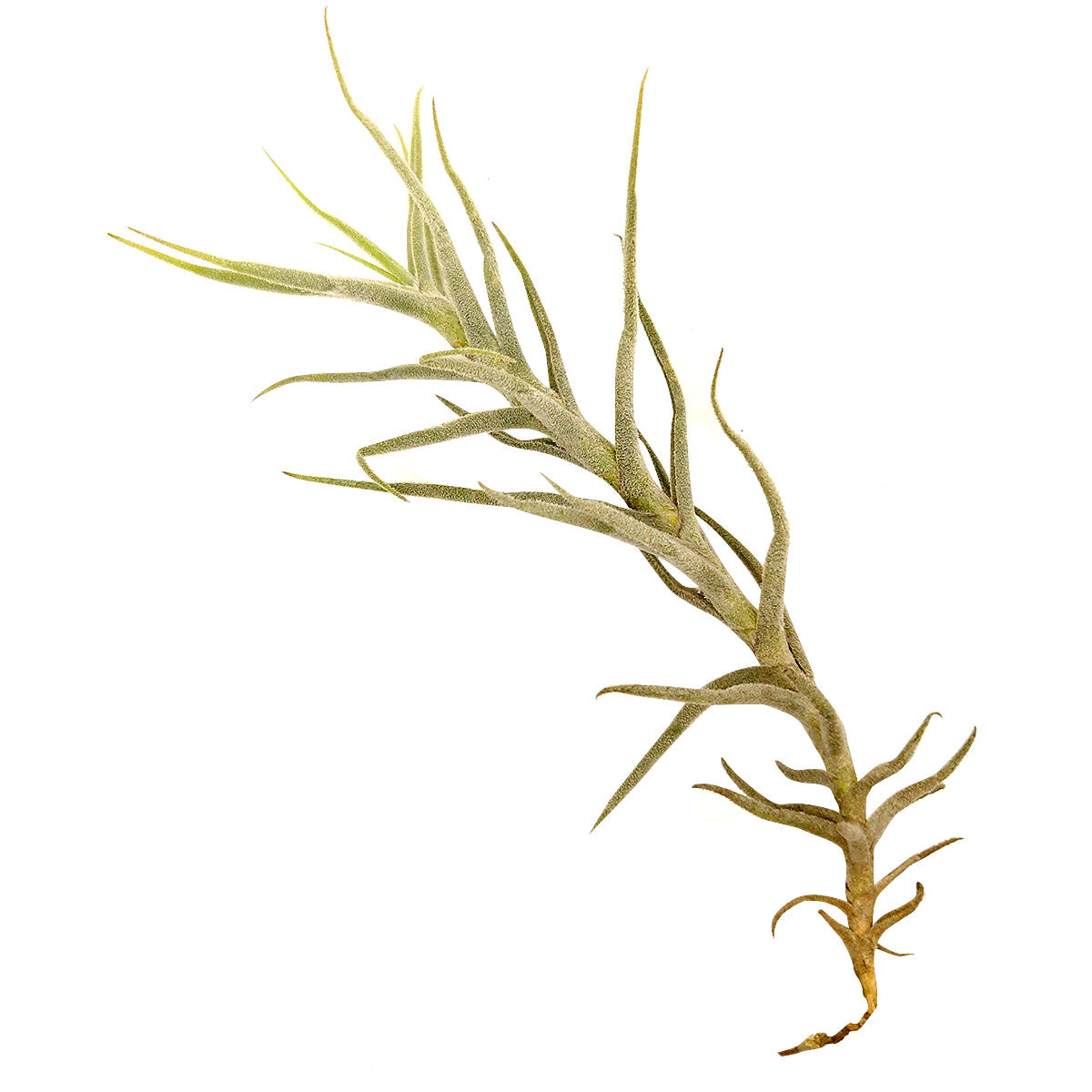 Tillandsia Paleacea air plant for sale, unique gift decor ideas, air plant subscription delivery monthly, Tillandsia Paleacea with air plant care guide, rare air plant
