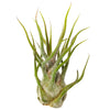 Tillandsia Pruinosa air plant for sale, Tillandsia Pruinosa Fuzzy Wuzzy Air Plant & Care Guide, air plants subscription box monthly, air plants gift boxes, airplants decor ideas, How to grow Pruinosa indoor