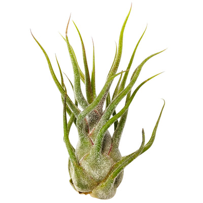 Tillandsia Pruinosa for sale