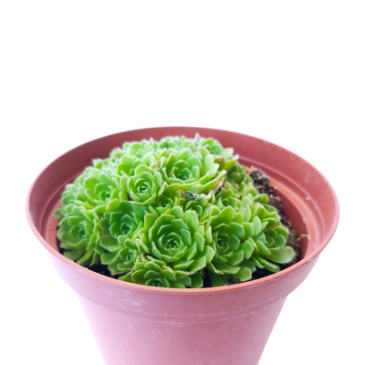 Rosularia Platyphylla Live Succulent Plant, Jade Plant, Jade Sempervivum, Sempervivum Hens and Chicks Succulent, Buy Succulents Online, Succulents Store in California, Types of Succulents, Succulents for Sale, Succulents Gift for Any Occasion, Succulents Home Decor, Succulents Subscription Box for Sale