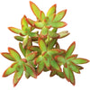 sedum fire storm, sedum adolphii, sedum firestorm, succulents garden, succulent plant, Succulents shop near me, succulent subscription, succulent care tips, succulent care guide, Succulents, succulent care, sedum fire storm in California, How to grow sedum fire storm