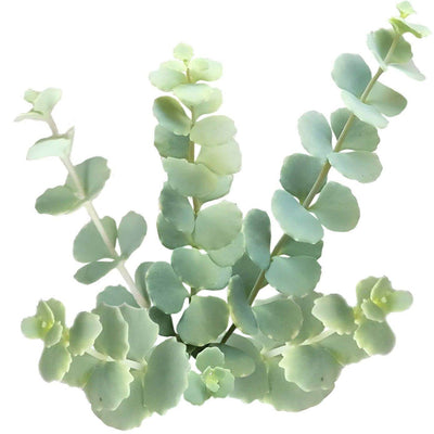October stonecrop care, succulents shop in California, Rare succulents, monthly succulents, succulent plant, how to grow succulents, succulent care, indoor succulents, Succulents, Siebold's Stonecrop in California, How to grow Siebold's Stonecrop