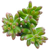pink jelly bean sedum, pink jelly bean succulent, cactus, Rare succulents, Succulents shop near me, how to grow succulents, succulent care guide, Succulents, succulents shop in California, succulents store in CA, pink jelly bean sedum in California, How to grow pink jelly bean sedum
