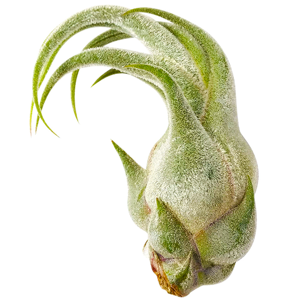 Tillandsia Seleriana air plant for sale, bulbous air plant with thick and fuzzy surface and wavy leaves, Seleriana air plant care guide, air plant subscription box delivered monthly, live air plant gift ideas, air plant home decoration