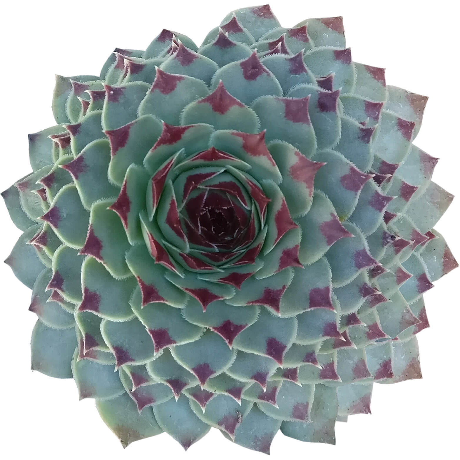 sempervivum calcareum for sale, succulent subscription, succulent plant, how to grow succulents, Succulents, succulents shop in California, succulent care guide, indoor succulents, Succulents shop near me, sempervivum calcareum in California, How to grow sempervivum calcareum