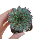 How to care for calcareum Succulent, How to make your succulent pink, How to change succulent color, How to make calcareum Succulent turn pink, Succulent turning pink, How to make succulents change color, How to grow colorful succulents.