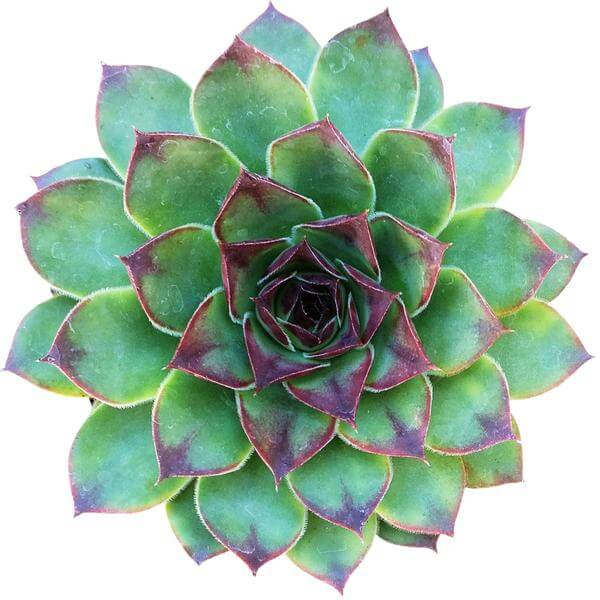 sempervivum mahogany for sale, succulent plant, succulent care guide, Rare succulents, succulent care tips, succulents shop in California, monthly succulents, how to grow succulents, cactus, sempervivum mahogany in California, How to grow sempervivum mahogany